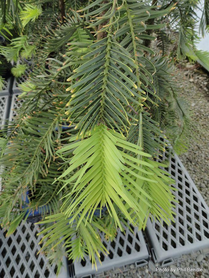 Wollemia nobilis Wollemi Pine -001.JPG