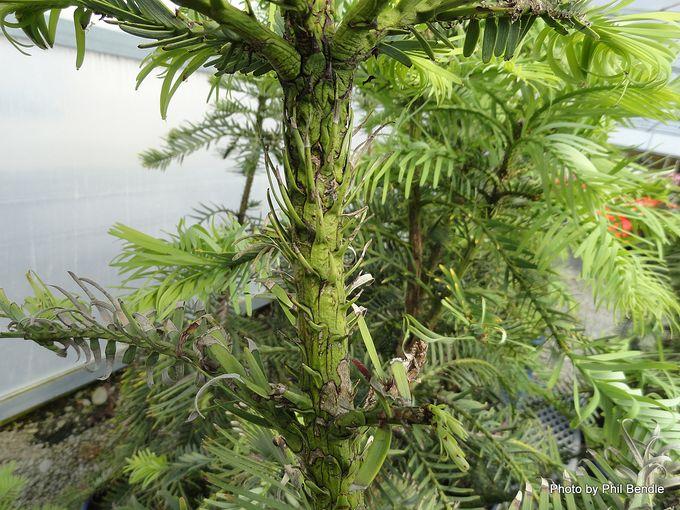 Wollemia nobilis Wollemi Pine -002.JPG