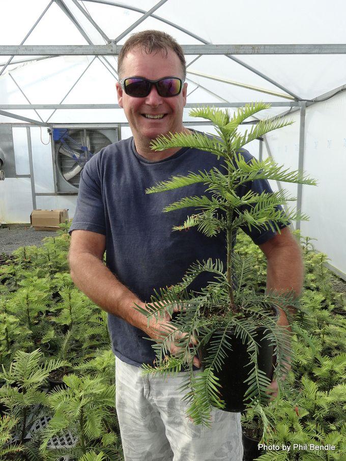 Wollemia nobilis Wollemi Pine -012.JPG