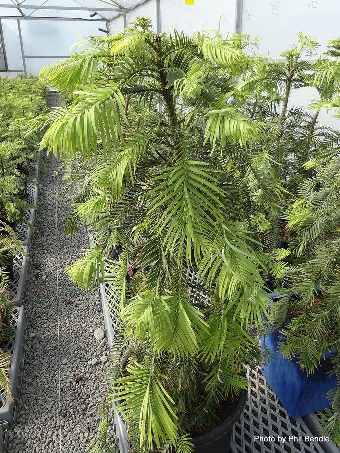 Wollemia nobilis Wollemi Pine Wollemi.JPG