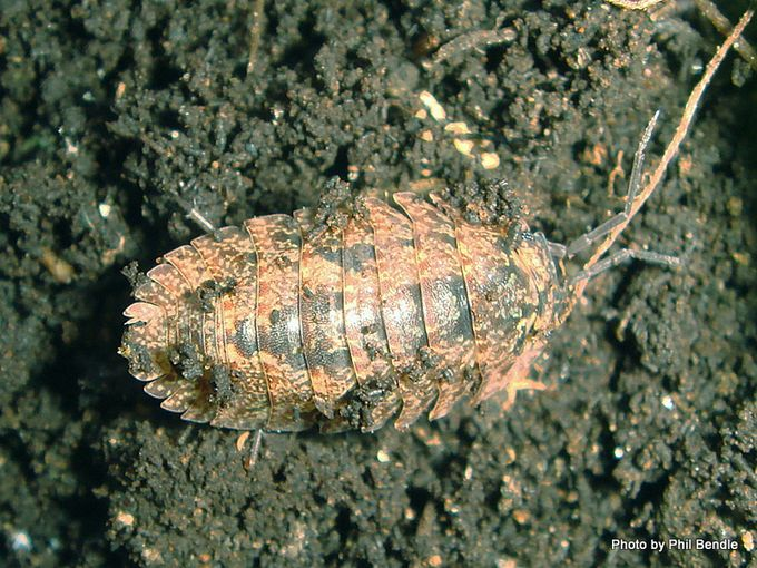 Woodlice Armadillidium Species slater.JPG