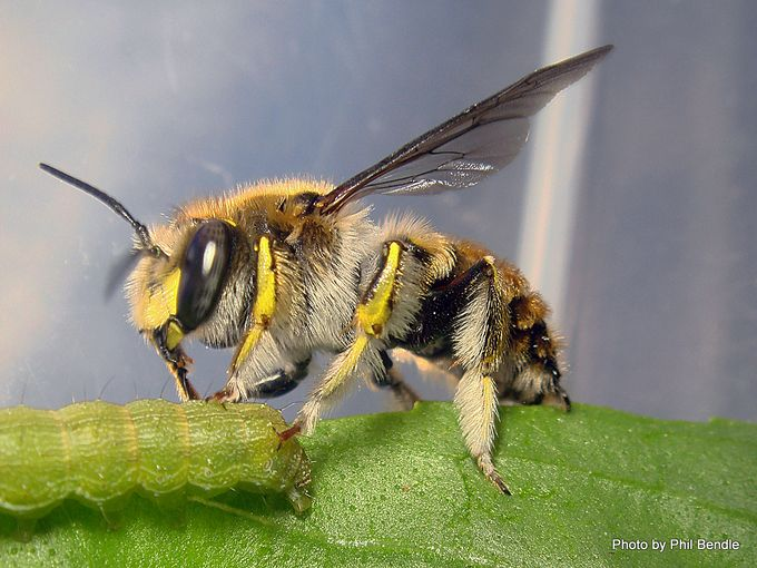 Wool carder bee Anthidium manicatum-005.JPG
