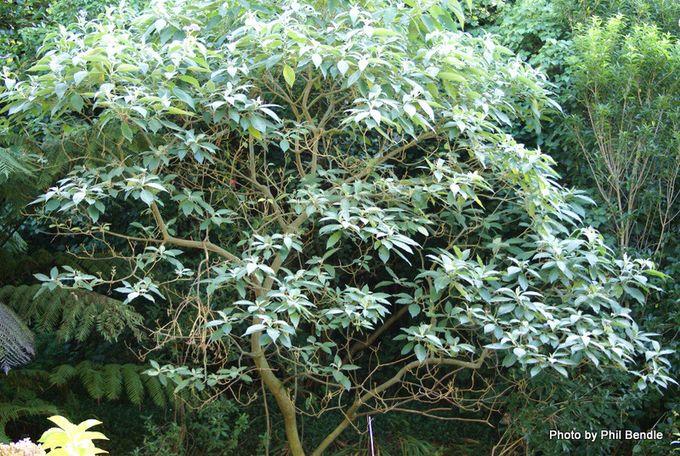 Woolly Nightshade Solanum mauritanum.-1.-1.JPG