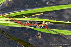 Phil Bendle Collection:Damselfly (Red) Xanthocnemis zealandica