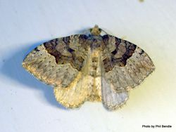 Phil Bendle Collection:Xanthorhoe semifissata (Barred pink carpet moth)