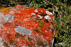 Phil Bendle Collection:Rusavskia elegans (Elegant Sunburst Lichen)