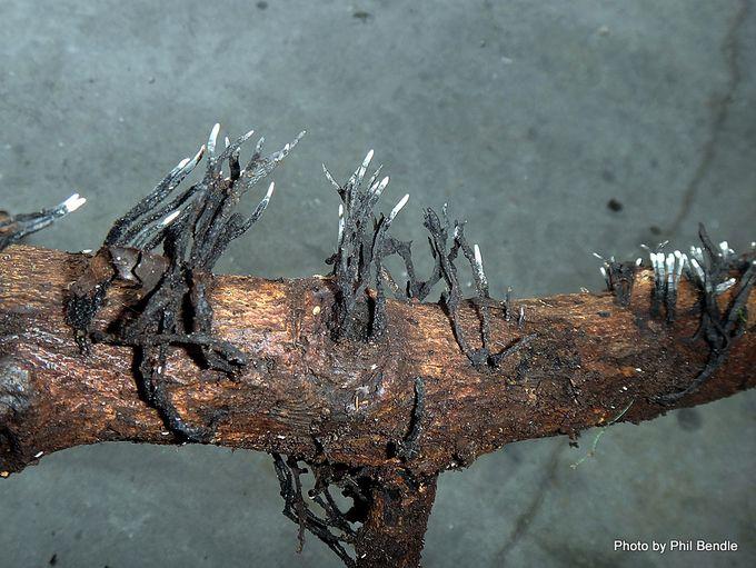Xylaria Candlesnuff fungus-001.JPG
