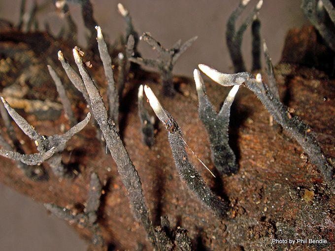 Xylaria Candlesnuff fungus-002.JPG