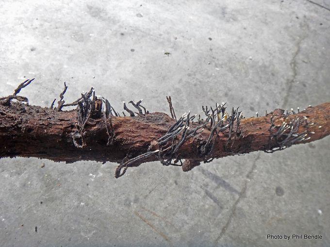 Xylaria Candlesnuff fungus.JPG