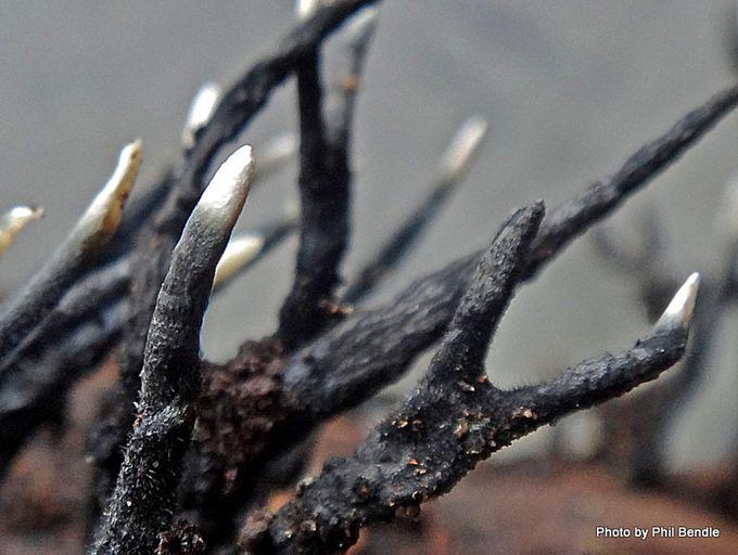 Xylaria hypoxylon Candlesnuff fungus-003.JPG