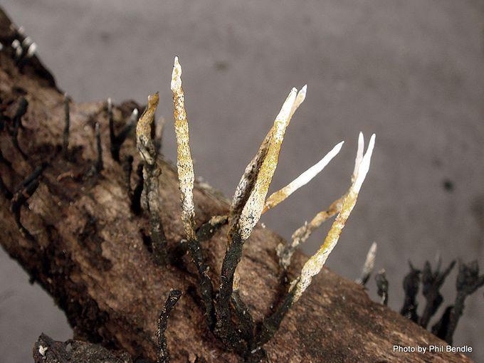 Xylaria hypoxylon Candlesnuff fungus-004.JPG