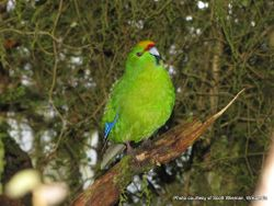 Phil Bendle Collection:Parakeet (Yellow crowned) Cyanoramphus auriceps