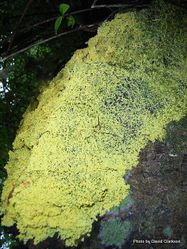 Phil Bendle Collection:Mould (Slime) Yellow