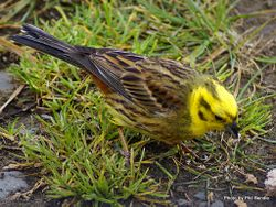 Phil Bendle Collection:Yellowhammer (Emberiza citronella)