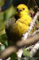 Phil Bendle Collection:Yellowhead (Mohoua achrocephala)