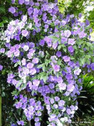 Phil Bendle Collection:Brunfelsia genus (Yesterday,Today & Tomorrow)