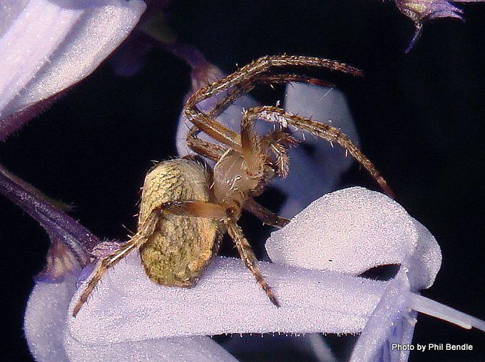 Zealaranea crassa White-banded orbweb spider-003.JPG