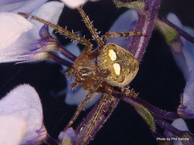 Zealaranea crassa White-banded orbweb spider-004.JPG