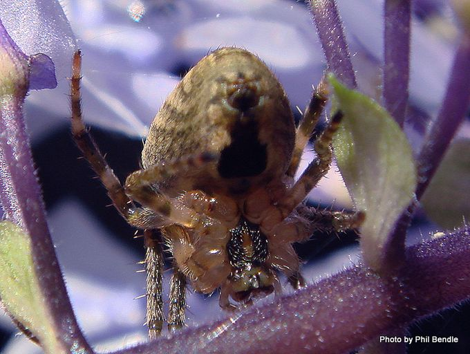 Zealaranea crassa White-banded orbweb spider-005.JPG