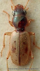 Phil Bendle Collection:Beetle (Back beach) Bembidion tillyardi